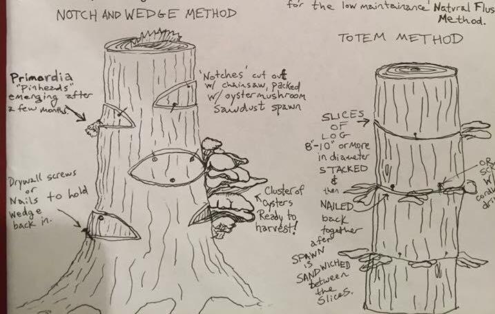 Medicinal Mushrooms and Shiitake Log Inoculation